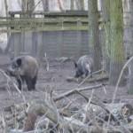 Wildschwein-Gehege