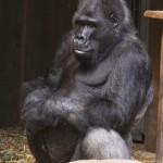 Gorilla im Affenhaus desKrefelder Zoos
