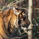 Sumatra-Tiger im Freigehege des Krefelder Zoo