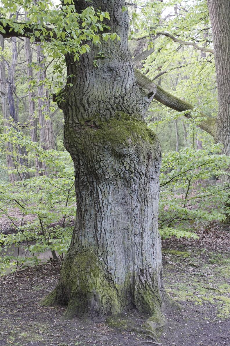 Knorriger Baumstamm an der Obererft