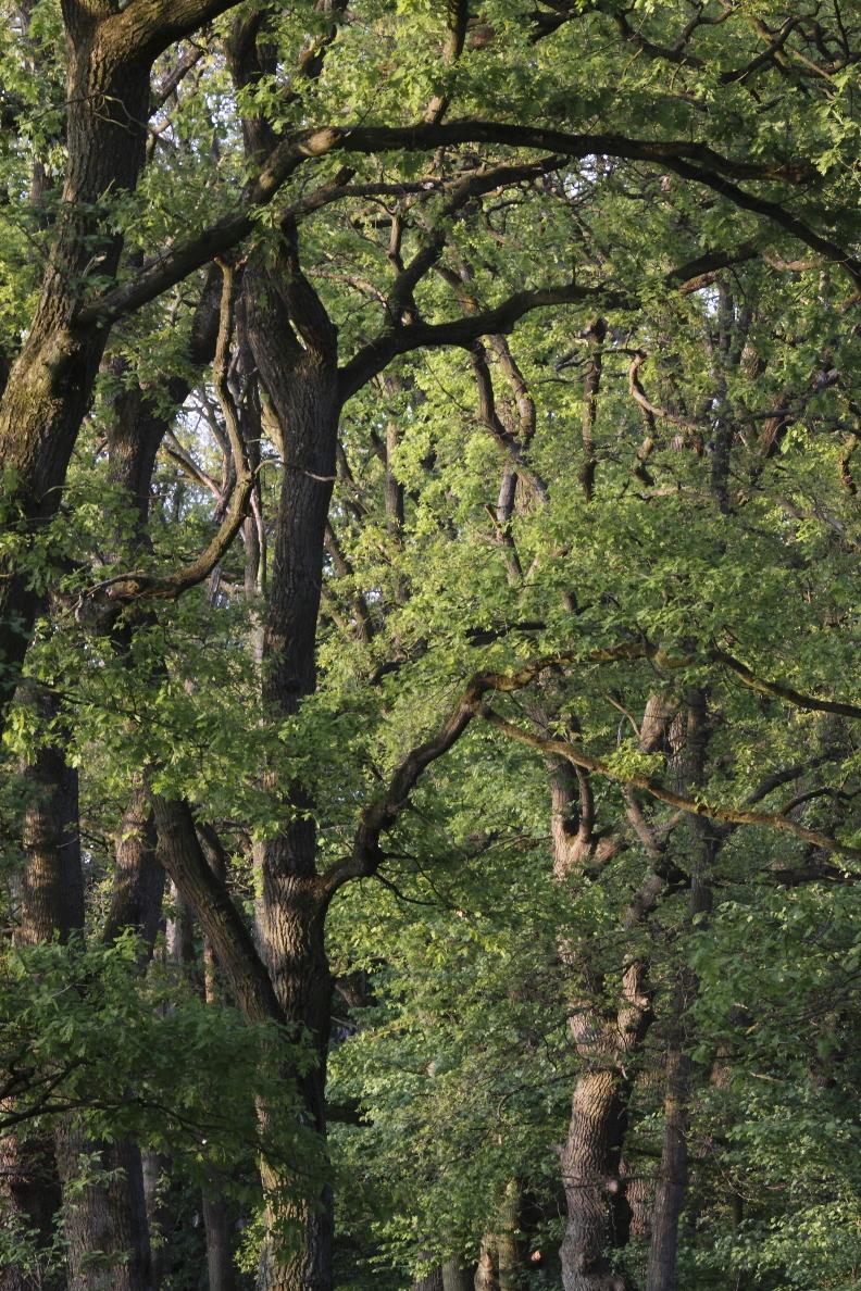 Bäume im Abendlicht an der Obererft