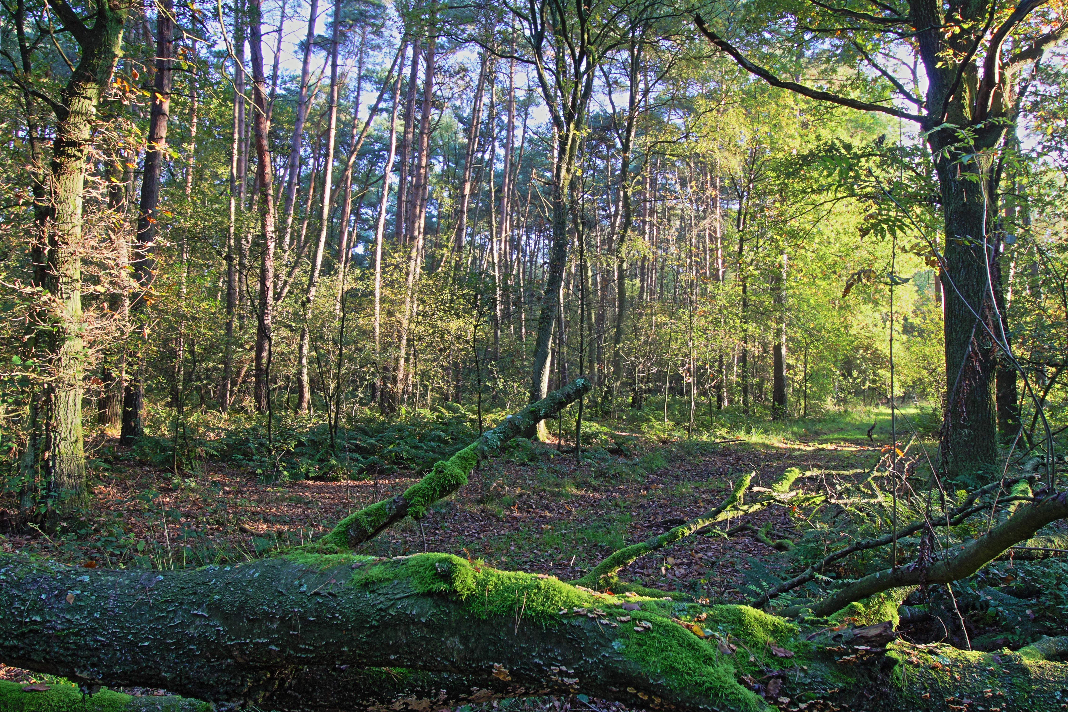 Umgestürzter Baum auf Waldweg.