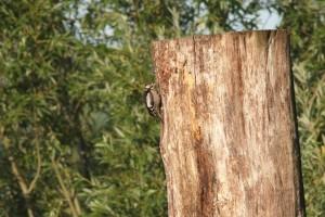 Buntspecht an totem Holz