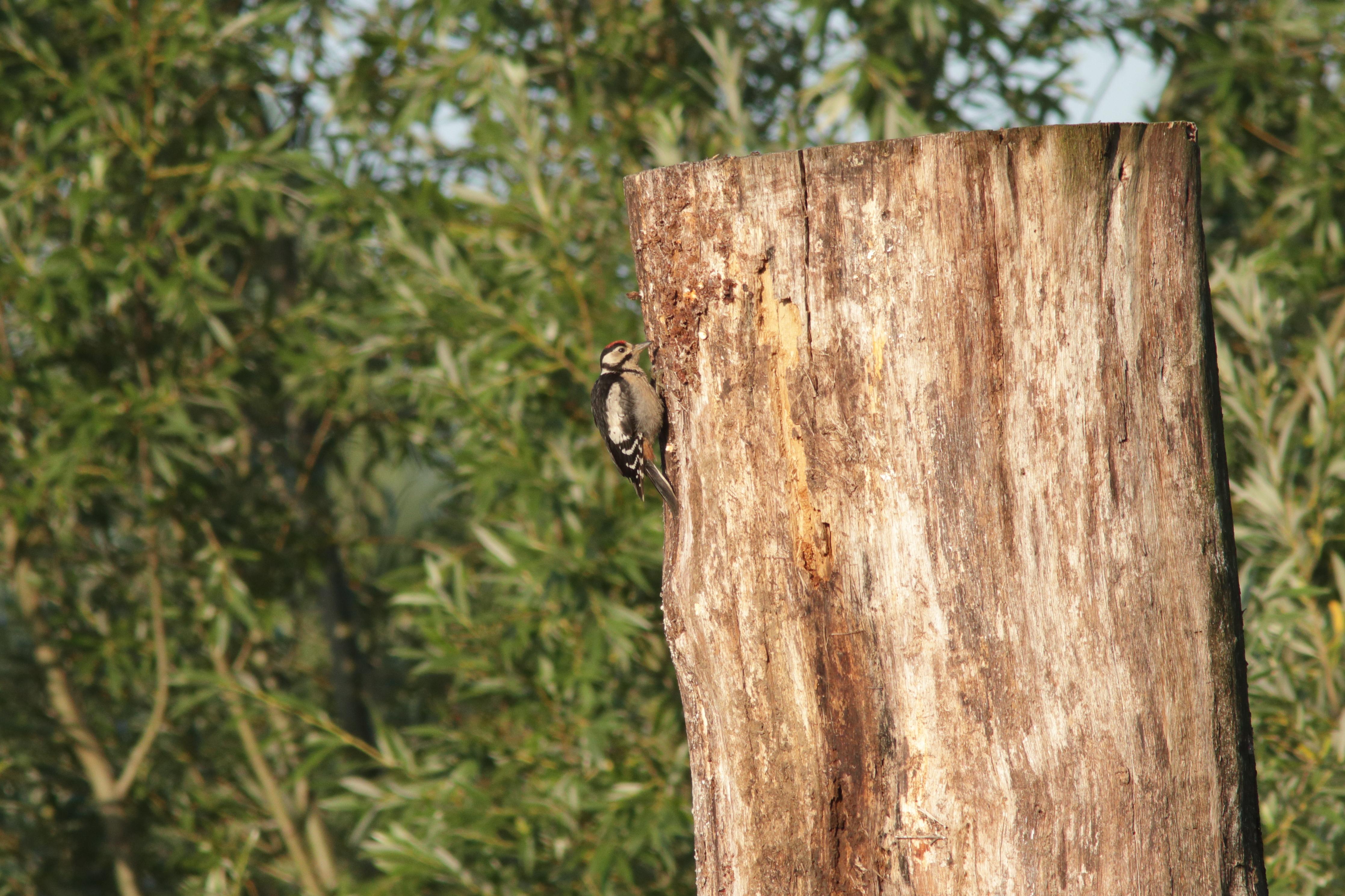 Buntspecht an einem Totholz-Stamm